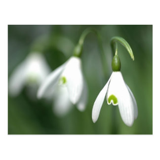 snowdrop, from the flower gift collection postcard