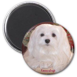Snowdrop the Maltese Magnet