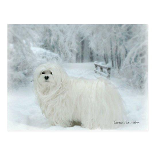 Snowdrop the Maltese Postcard