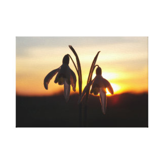 Snowdrops at Sunset Canvas Print