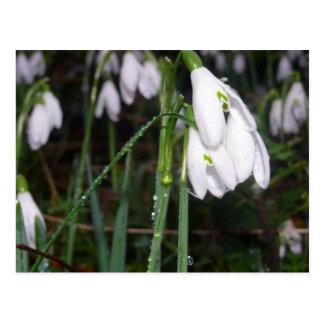 Snowdrops In The Garden Postcards