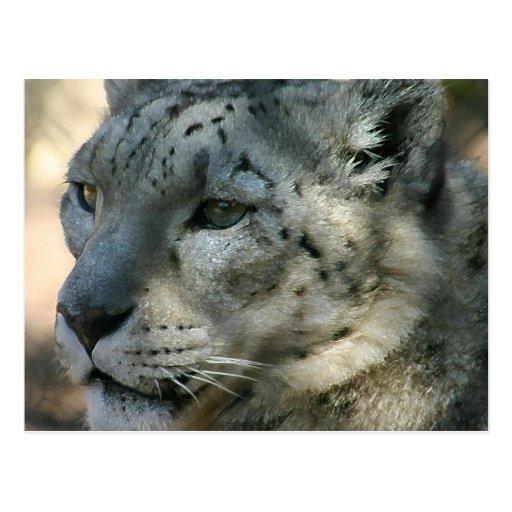 snowleopard postcard