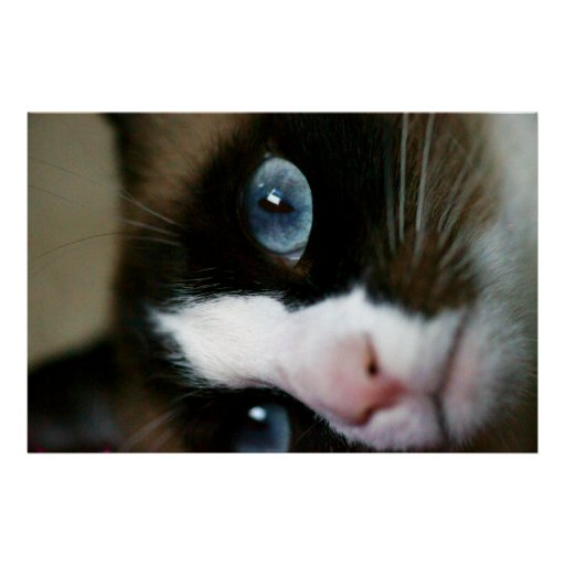 Snowshoe Blue Eyes Posters