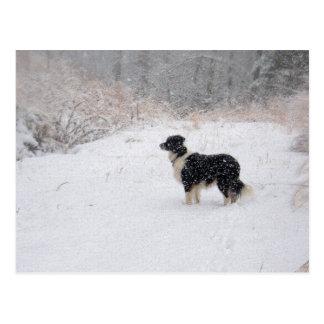 Snowy Border Collie Postcard