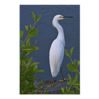 Snowy Egret at Marsh Poster