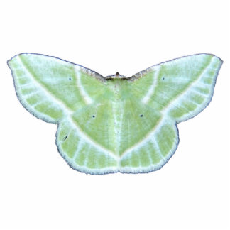 Snowy Emerald moth ~ acrylic Photo Sculpture Decoration