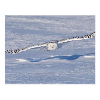 Snowy Owl in flight. 2 Postcard