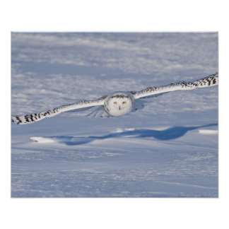 Snowy Owl in flight. 2 Poster