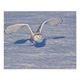 Snowy Owl in flight. Poster