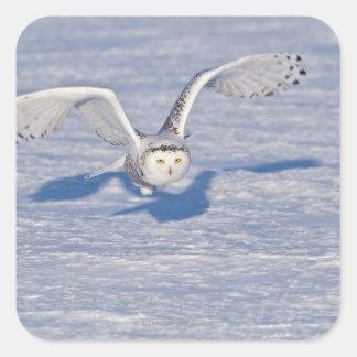 Snowy Owl in flight. Square Sticker