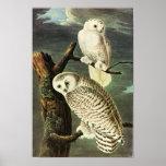 Snowy Owl, John James Audubon Posters