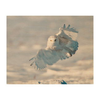 Snowy Owl landing on snow Wood Print