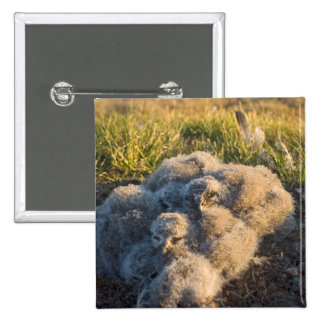 snowy owl, Nycttea scandiaca, chicks in their 15 Cm Square Badge