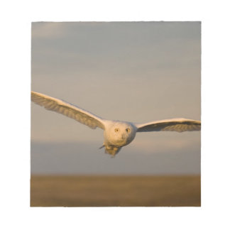 snowy owl, Nycttea scandiaca, in flight over the Notepad