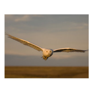 snowy owl, Nycttea scandiaca, in flight over the Postcard