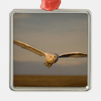snowy owl, Nycttea scandiaca, in flight over the Silver-Colored Square Decoration