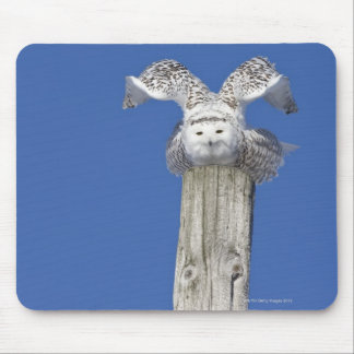 Snowy owl on top of a pole, preparing to take mouse mat