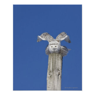 Snowy owl on top of a pole, preparing to take poster