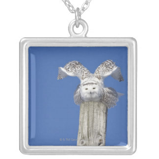 Snowy owl on top of a pole, preparing to take silver plated necklace