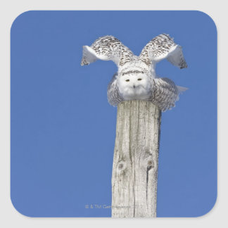 Snowy owl on top of a pole, preparing to take square sticker