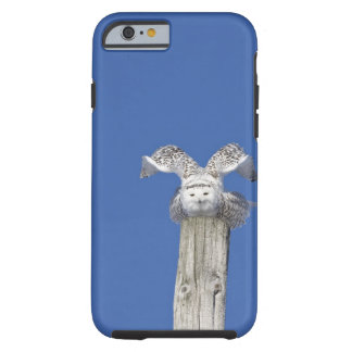 Snowy owl on top of a pole, preparing to take tough iPhone 6 case