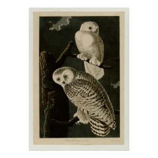 Snowy Owl Posters