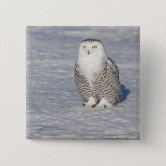 Snowy owl standing near water creating a 15 cm square badge