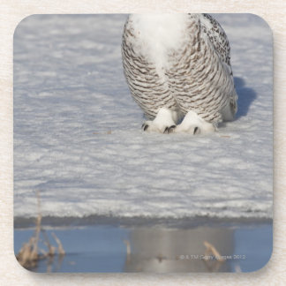 Snowy owl standing near water creating a coaster