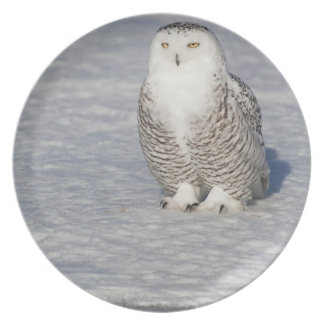 Snowy owl standing near water creating a plate