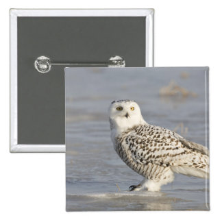 Snowy owl standing on ice, a mouse's tail 15 cm square badge