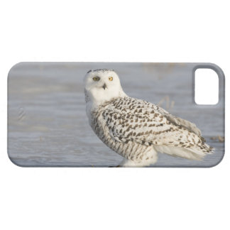 Snowy owl standing on ice, a mouse's tail barely there iPhone 5 case