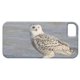 Snowy owl standing on ice, a mouse's tail iPhone 5 covers