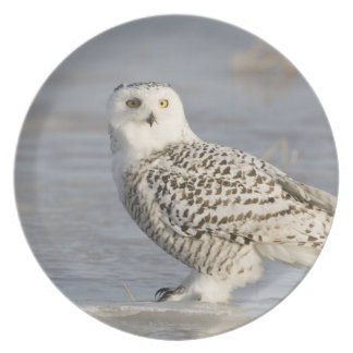 Snowy owl standing on ice, a mouse's tail plate