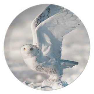Snowy Owl taking off from snow Plate