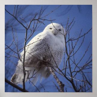 Snowy Owl - White Bird against a Sapphire Blue Sky Poster