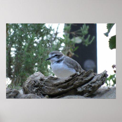 Snowy Plover on nest Print