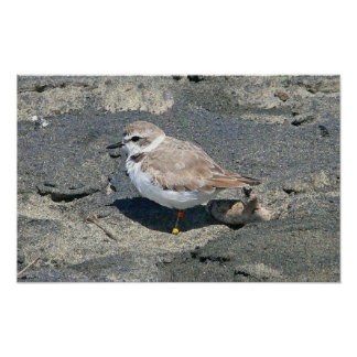Snowy plover posters