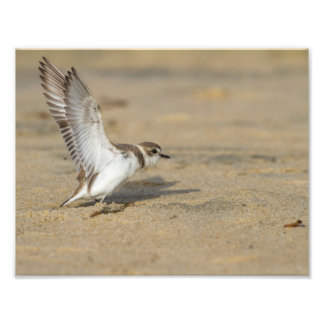 Snowy Plover Stretch Photographic Print