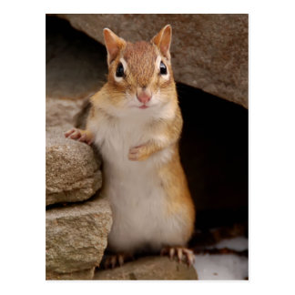 So Cute Curious Chipmunk Postcard