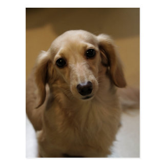 So Cute Dachschund Puppy Postcard