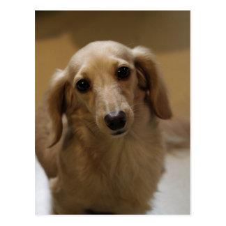 So Cute Dachschund Puppy Post Cards
