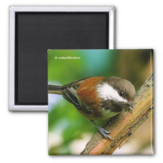 So Cute, So Curious: A Chestnut-Backed Chickadee Square Magnet