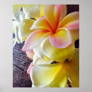 Soaked Hawaiian Frangipani Poster