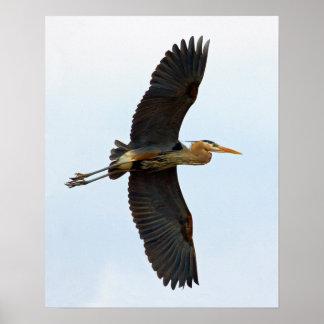 Soaring Great Blue Heron Print