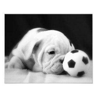 """Soccer Ball Nose"" English Bulldog Puppy Photo Print"