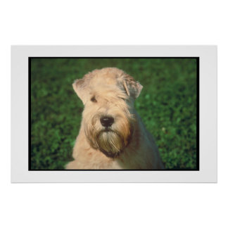 Soft Coated Wheaten Terrier Poster