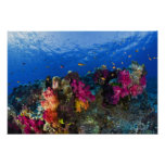Soft corals on shallow reef, Fiji Poster