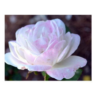 Soft Pink and White Rose-60 Postcard