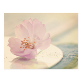Soft Pink Cherry Blossom Flower Postcard