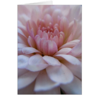 Soft Pink Chrysanthemum Greeting Card